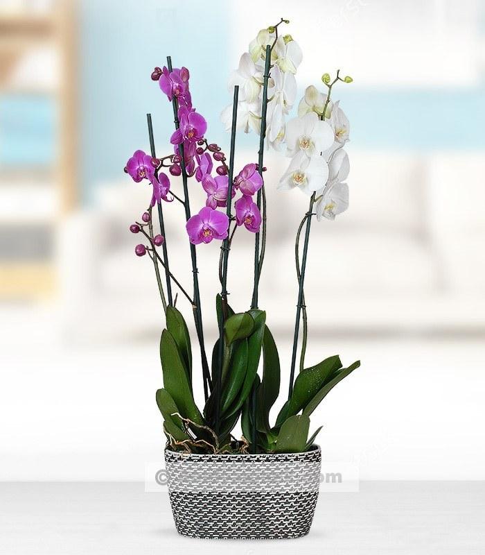 4 Dal Mor Beyaz Orkide