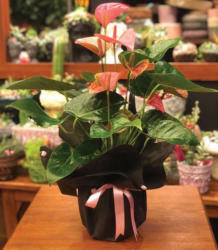 Kırmızı Antoryum Çiçeği