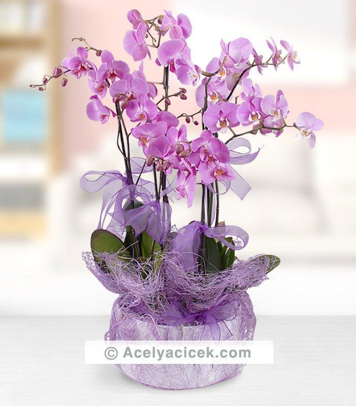 4 Dal Mor Orkide