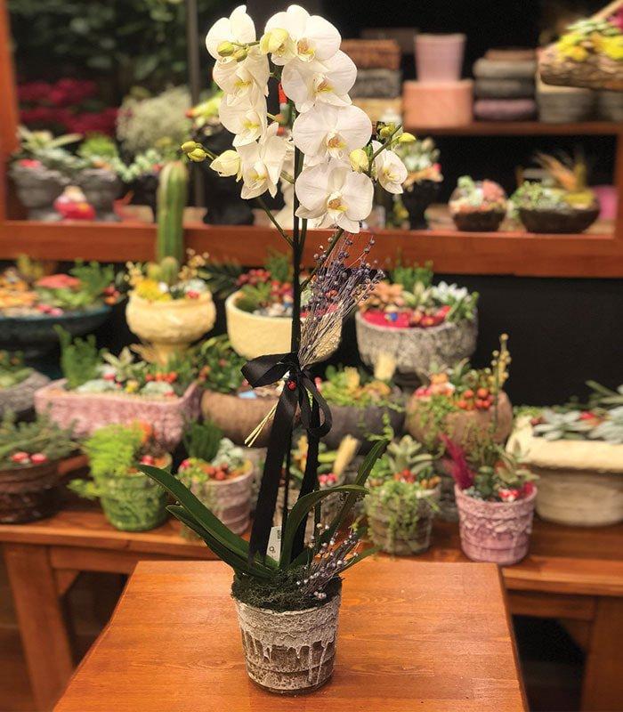 1 Dallı Kraliçe Beyaz Orkide