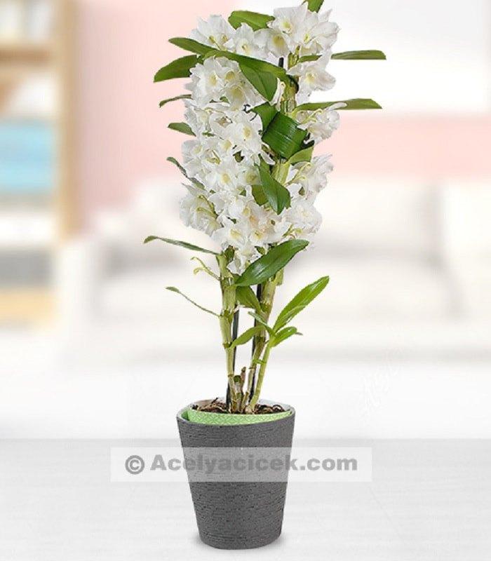 Bambu Orkide