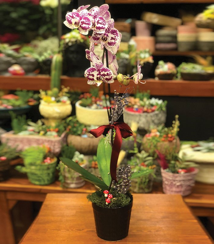 Benekli Phalaenopsis Orkide