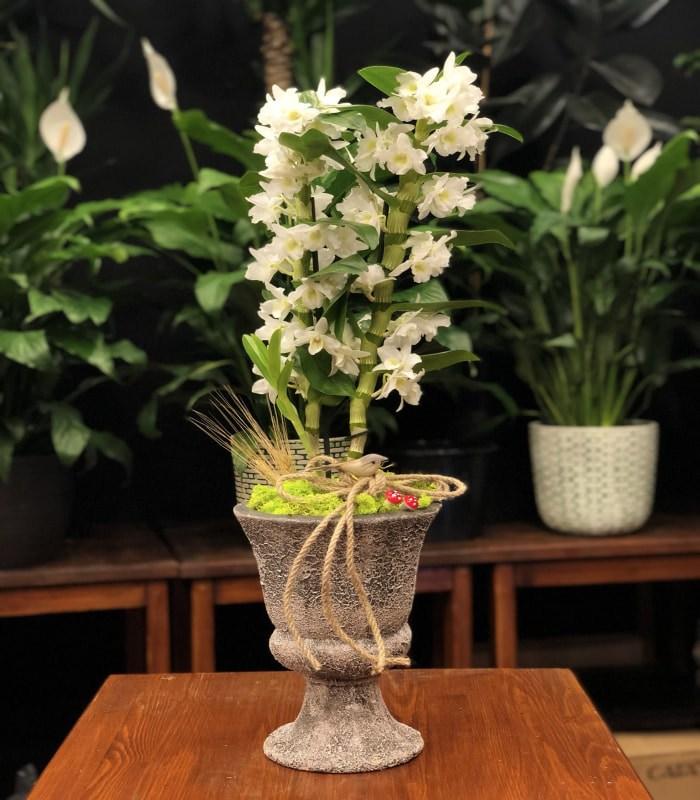 Dendrobium Beyaz Orkide