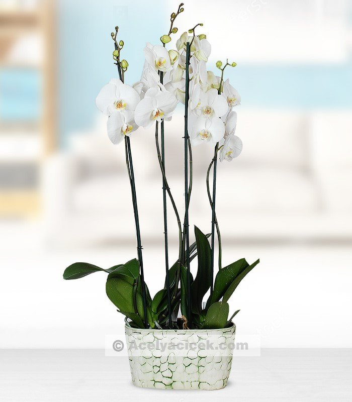 4 Dal Orkide Sefası
