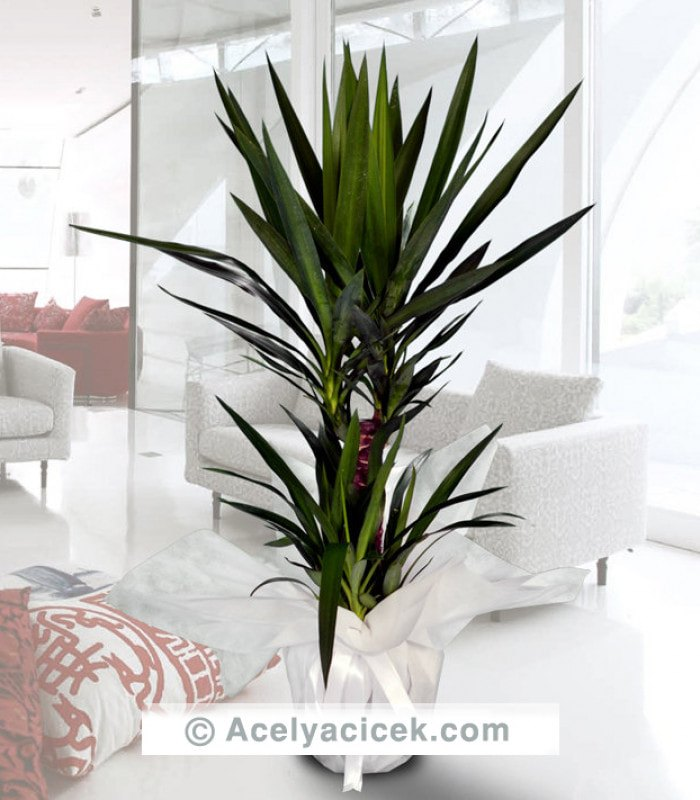 2li Yucca Salon Bitkisi