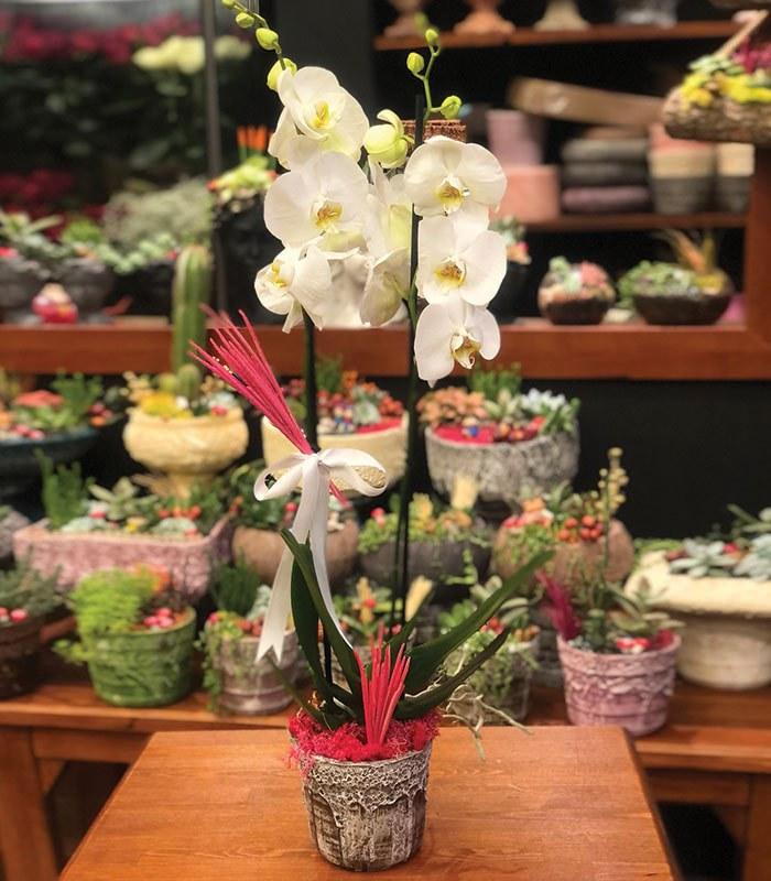 Nadide 2 li Beyaz Orkide