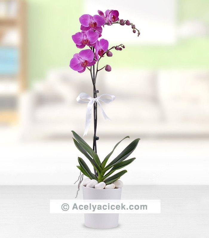 Mor Zarif Orkide
